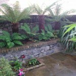Tree ferns in raised bed
